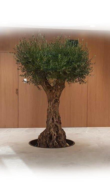 OVIklinika-drzewo-oliwne